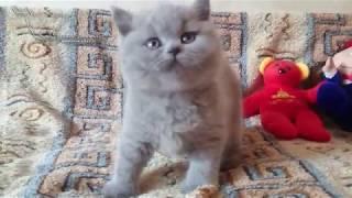Armani - британский плюшевый котик. Возраст 1.5 мес