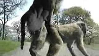 Śmieszne małpy na masce samochodu. Małpy na samochodzie.