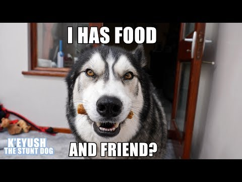 Husky Choose Best Friend Over FOOD! He's SHOCKED To See Him!
