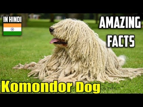 komondor dog | amazing facts in hindi | Animal Channel Hindi