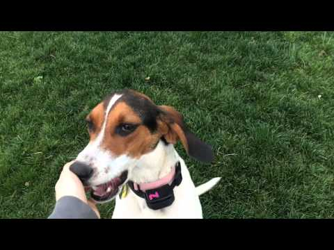 Tillie - American Foxhound for Adoption