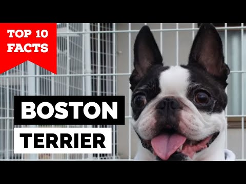 Boston Terrier - Top 10 Facts (The Famous American Gentleman)