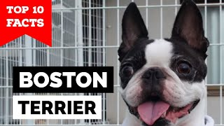 Boston Terrier  Top 10 Facts (The American Gentleman)