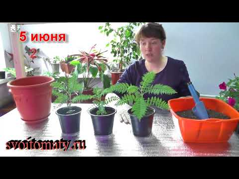 Жакаранда мимозолистная - выращивание из семян