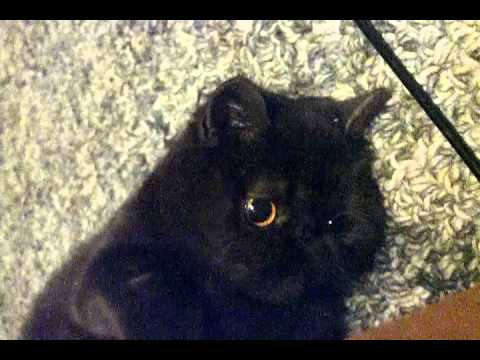 Our exotic shorthair cat, Moonshadow