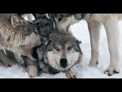 Full Documentary I Inside The Wolfpack I wolf bite I The Real Life Wolf Man I Wolf Whisperer