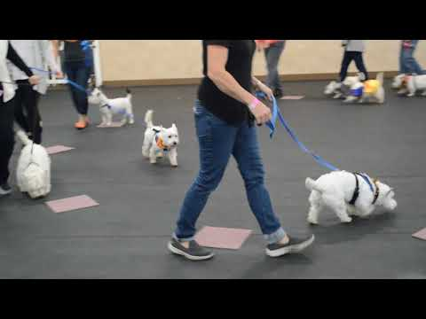 Seattle Westie Club - Musical Chairs