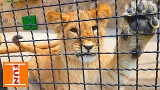 Парк львов Тайган ЗООПАРК День #2 Park of lions Taigan Zoo Day # 2(На второй день идем в огроменный зоопарк Тайгана!!! Здесь мы увидим много разных экзотических животных из..., 2016-05-20T03:46:06.000Z)