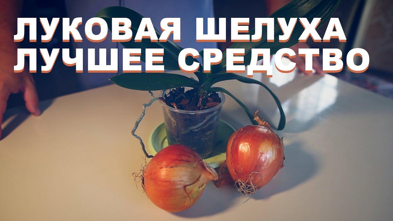 Луковая шелуха как лучшее удобрение для орхидей своими руками. Орхидеи скажут спасибо.