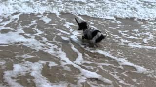 Maisie, The Studio Cocker Spaniel, In The Sea.