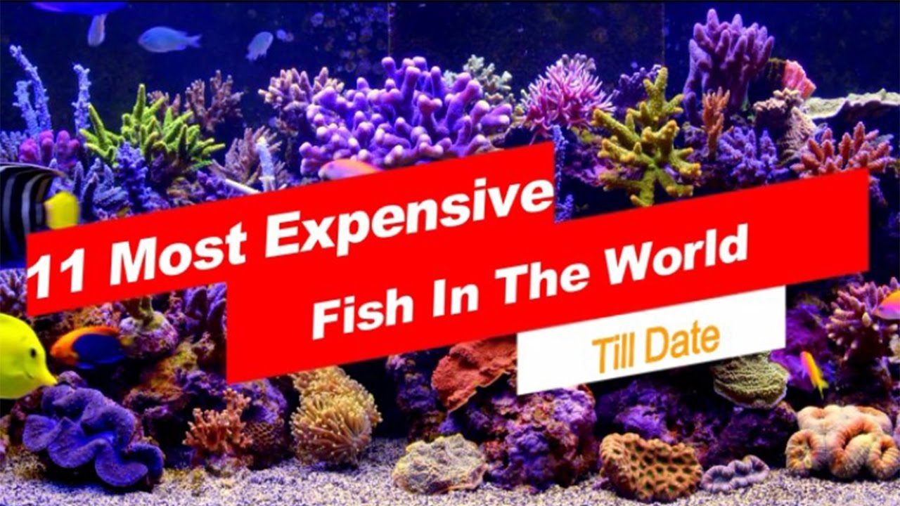 11 Most Expensive Fish In The World Youtube