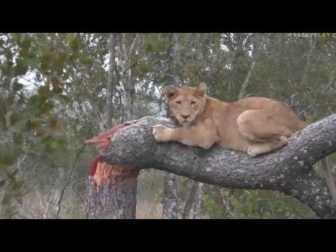Pt 1 Safari Live's Sunrise Safari Drive at 6:30 AM on May 26 2017 ( Nkuhuma Pride )