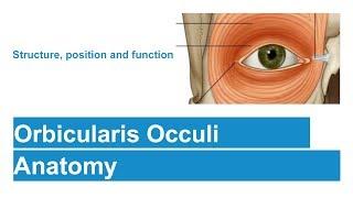 Orbicularis Occuli