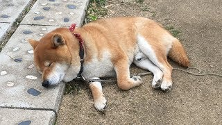 春眠暁を覚えず!ベッドまでたどり着けずに眠りに落ちてしまった柴犬