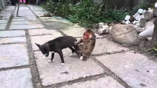 Mokey jokes dog -  Con khỉ nhờn nhất quả đất