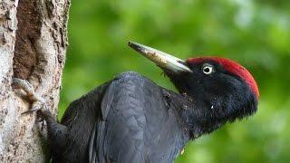 cris et chants d\'oiseaux 1