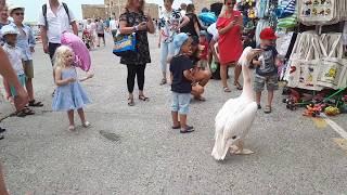 Пеликанът от Пристанището на Пафос,Кипър с Даниел Димитров