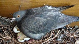 Голуби - Птенцы голубей - В ожидании потомства - Голубиная сага - 1 серия
