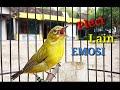 Pleci Gacor Nyari Lawan Bikin Pleci Lain Emosi  Mp3 - Mp4 Download