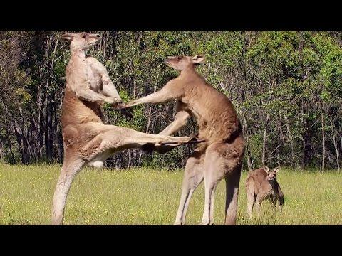 La violence extrême du kangourou - ZAPPING SAUVAGE