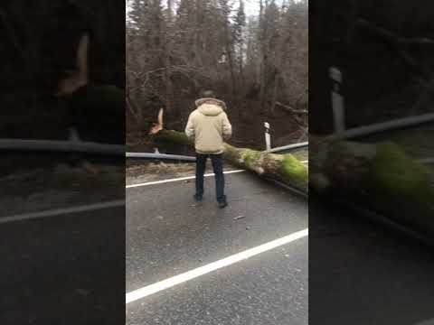 На светлогорской трассе дерево упало поперёк дороги