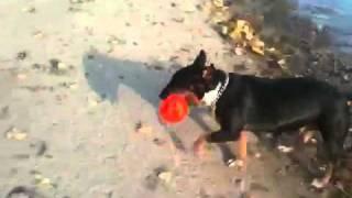 Bull Terriers On Toronto Cherry Beach