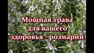 Мощная трава для вашего здоровья - розмарин