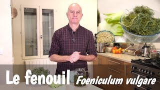 Le fenouil (Foeniculum vulgare) : nutrition, digestion, allaitement