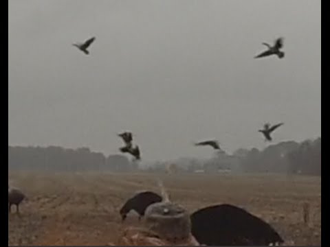 Best Goose Hunt On Biggest Farm Kent Island