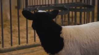 Rencontrez les agneaux au Musée de l'agriculture et de l'alimentation du Canada