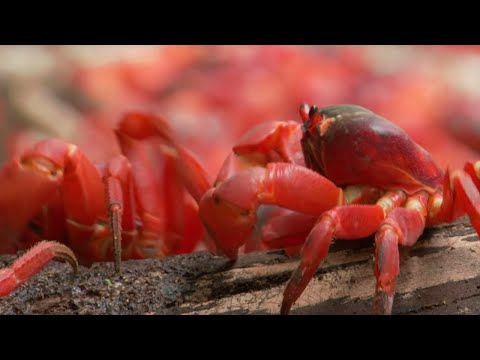 March of the Red Crabs - Lands of the Monsoon - BBC