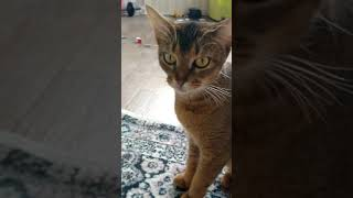Абиссинская кошечка Багира