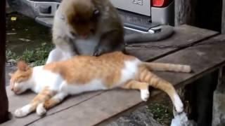Обезьяний массаж кота