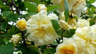 Yellow rambling Rosebush
