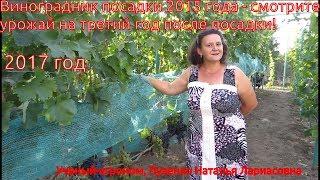 Урожай винограда на третий год после посадки (Пузенко Наталья Лариасовна)