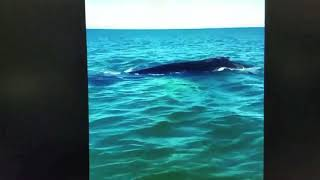 Humpback whale spotted near Seacrest Beach
