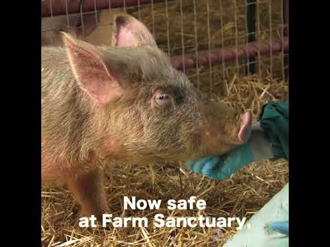 Pig Rescue in Cattaraugus County