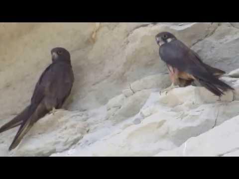 Eleonora's falcon (Falco eleonorae) (Gene, 1839) - Μαυροπετρίτης - Cyprus