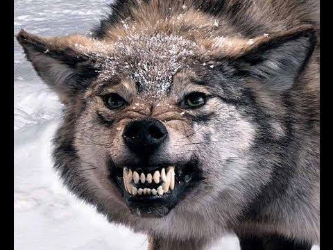 Не кормите злого волка ! - YouTube