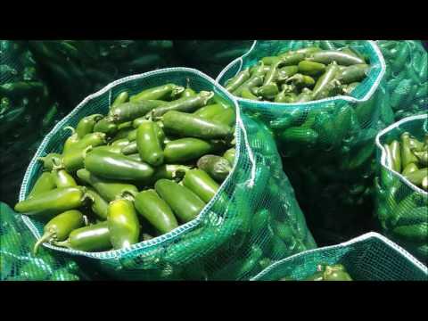 cosecha chile jalapeño fresco de exportacion