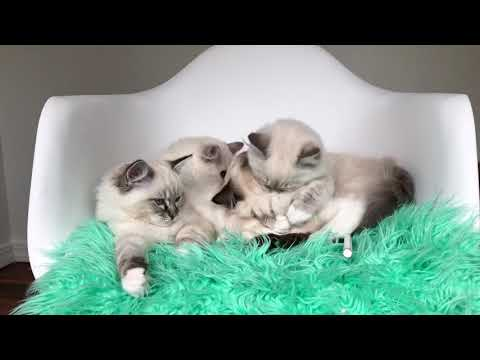 4 Ragdoll Kittens | Hanging Out In a Chair