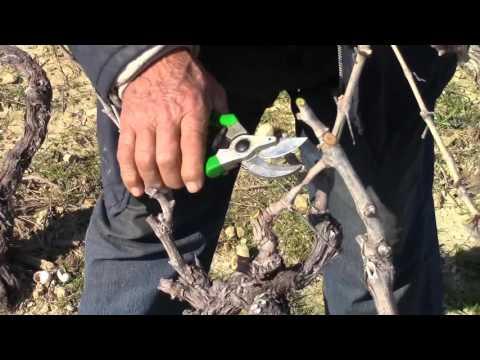 Rezidba vinove loze na otoku Pagu