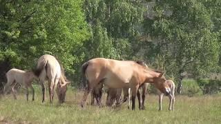 Дикие животные чернобыльской зоны - лошади Пржевальского, лоси