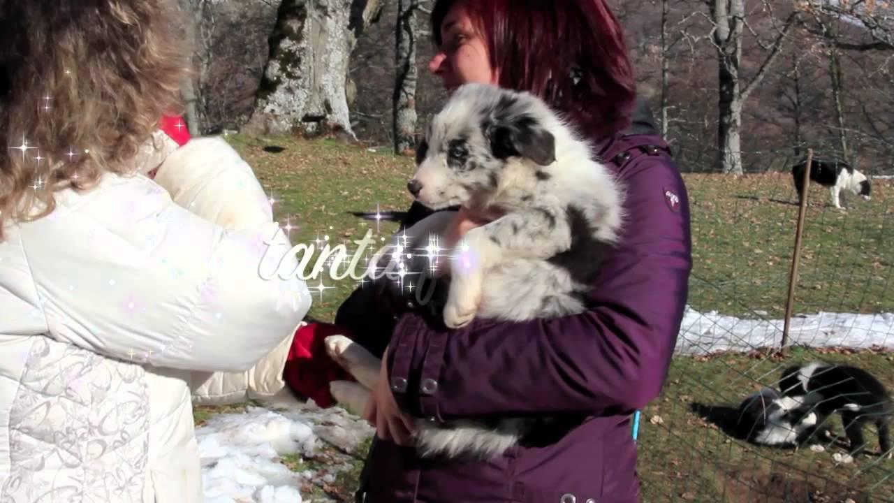 Natale 2011 cuccioli border collie allevamento di petrademone.mov