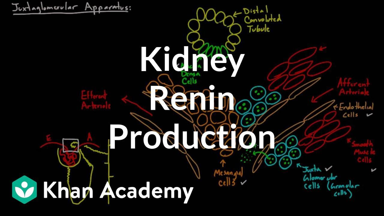 Renin production in the kidneys (video) | Khan Academy