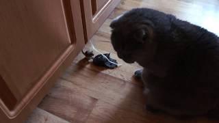 КОТ БРИТАНЕЦ  охотится за мышкой