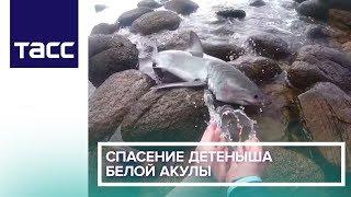 Спасение детеныша белой акулы