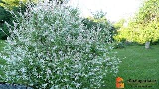 Jak pěstovat vrbu japonskou. Salix integra Hakuro Nishiki thumbnail