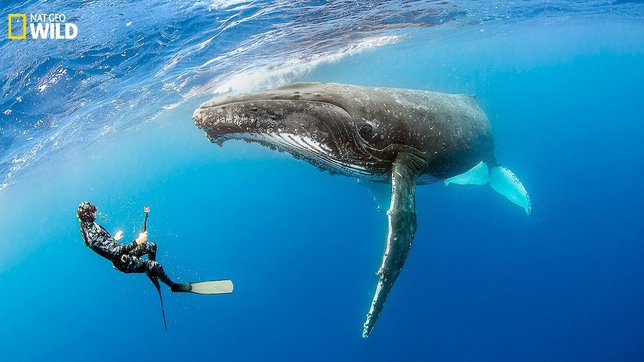 national geographic humpback whale friendly animals of the blue