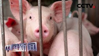 [中国新闻] 日本:猪瘟扩散 政府决定为生猪接种疫苗 | CCTV中文国际
